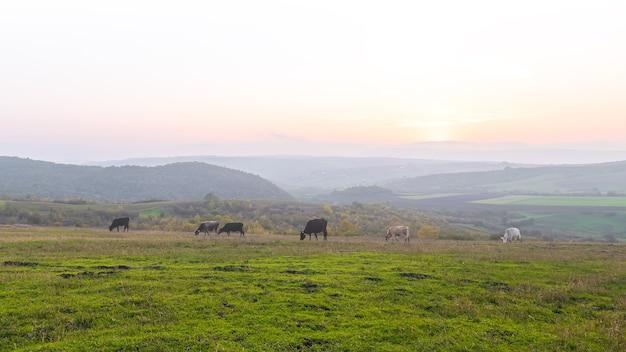Коровы, пасущиеся на зеленом лугу