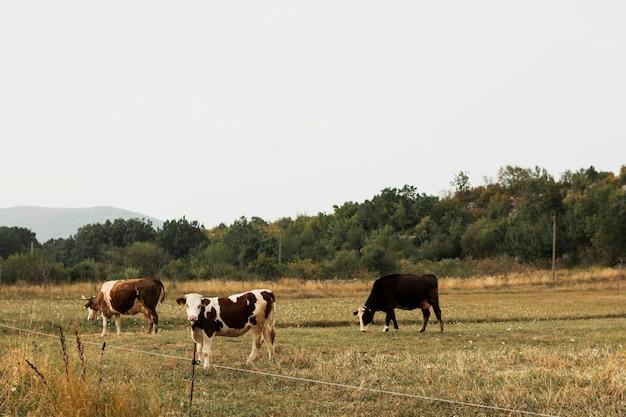 田舎の牧草地で放牧牛