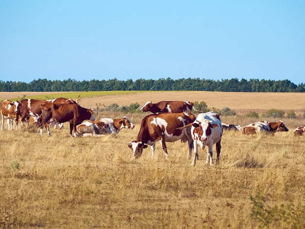 牧草地で放牧している牛。