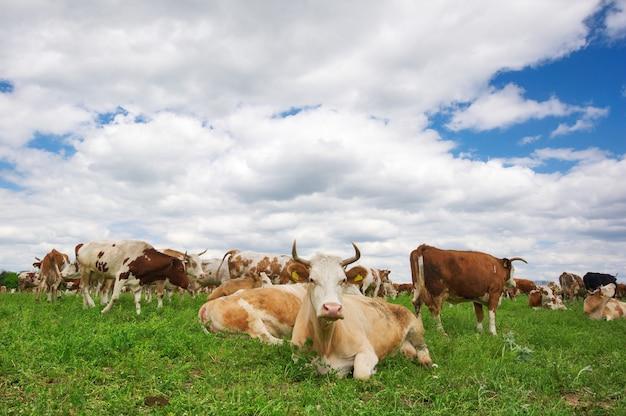 牧草地に放牧牛