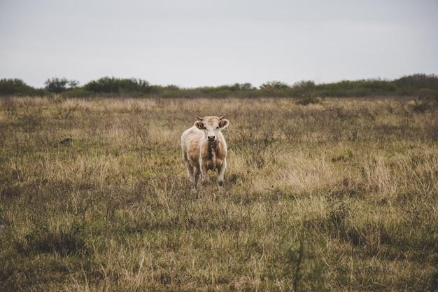 Cows grazing in an open field