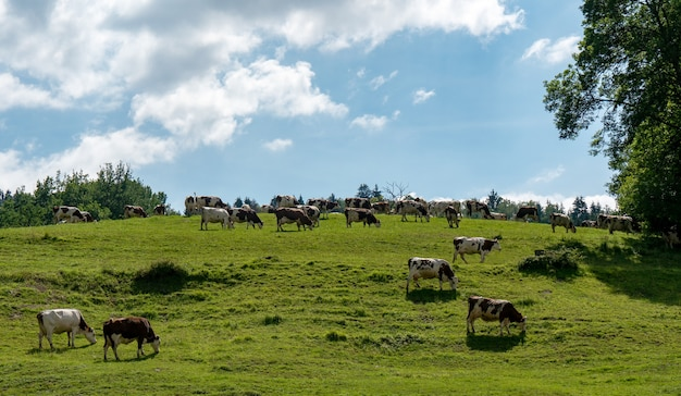 Cows grazing in pastures of the alps
