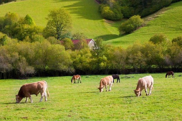 Cows grazing in pyrenees green autumn meadows at spain