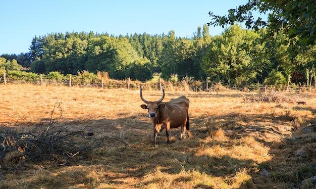 Cows grazing, spain