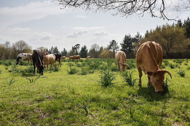 Cows grazing in a sunny meadow in spring