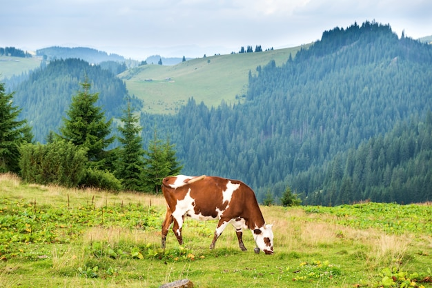 Cows on the green field at mountains. farm landscape