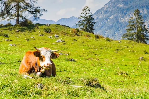 Cows in the green meadows of the alps