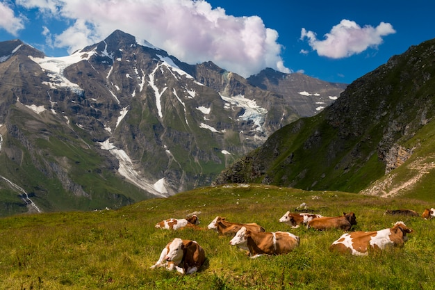 Cows in a high-mountain alpine meadow. alps.