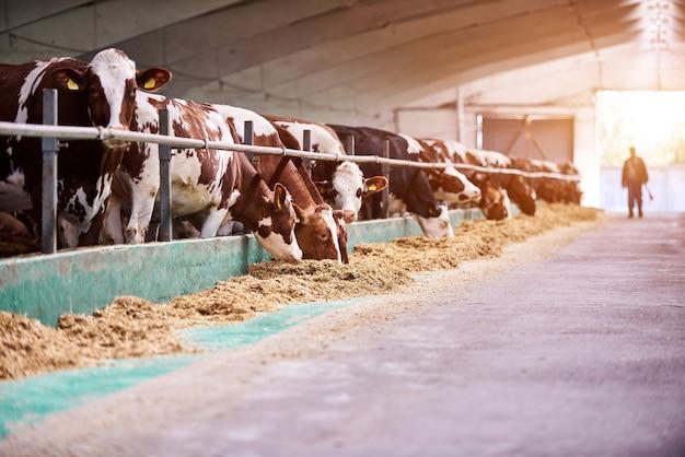 Коровы на ферме. дойные коровы на ферме.