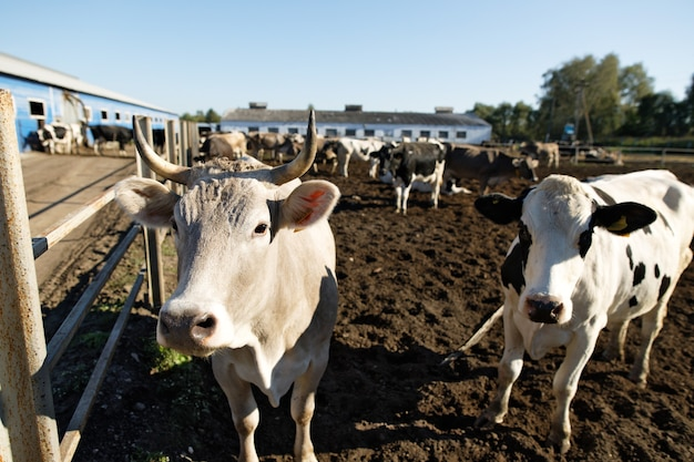 농장에서 소. 농장에서 젖소.