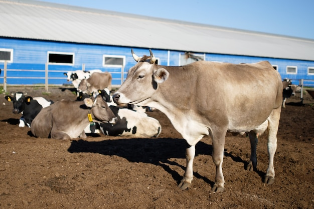 農場の牛。農場の乳牛。