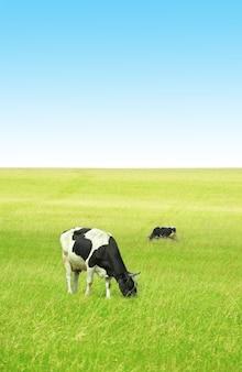 Коровы в зеленом поле под голубым небом
