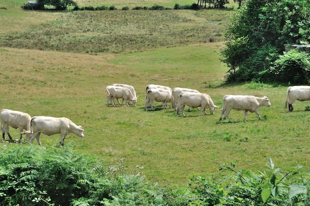 Коровы на лугах