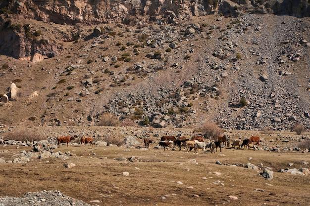 Коровы в горах грузии. по дороге пасутся животные. невероятный горный пейзаж на заднем плане.