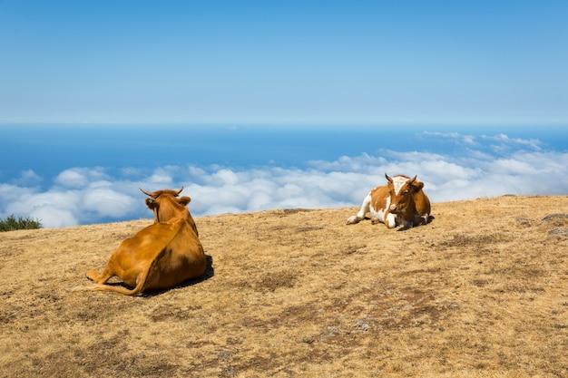 山の中の牛