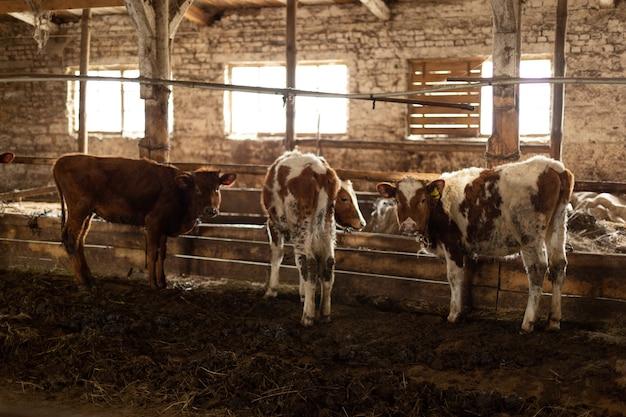 Коровы в сарае на ферме интерьер сарая с парой помеченных коров