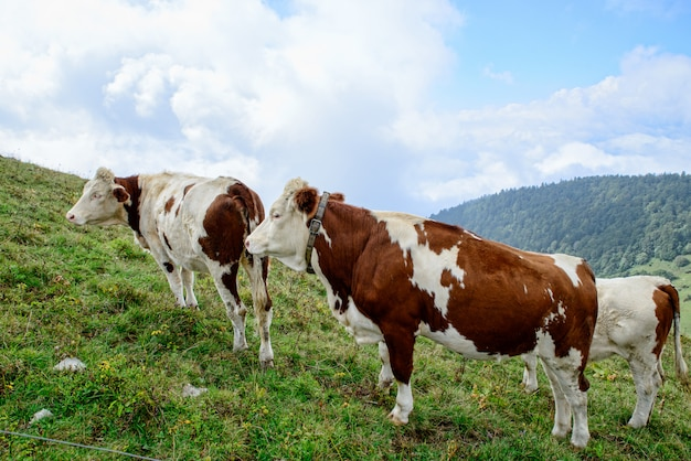 Cows in the mountain pastures