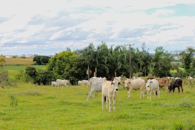 Коровы разных пород на травянистом поле в яркий солнечный день с облаками на ферме в бразилии.