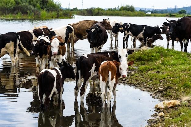 青い雲と投稿の近くに屋外の工業地帯の緑の牧草地に牛