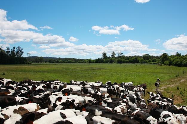 牧草地の牛
