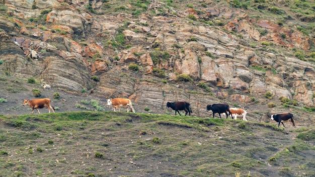 Коровы на каменистой горной дороге