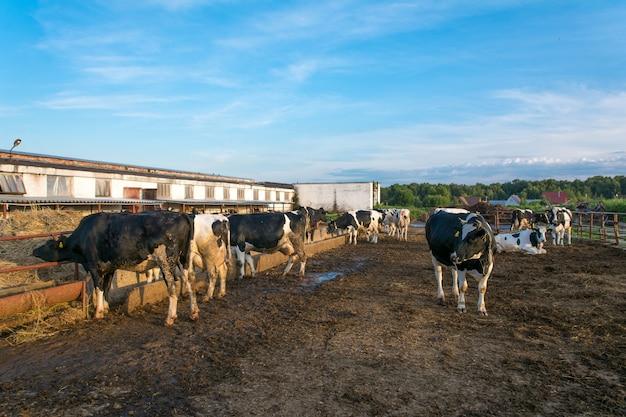 Коровы на молочной ферме