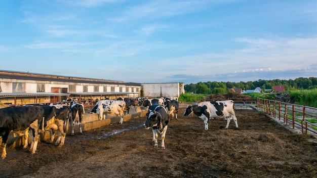 Коровы на молочной ферме Premium Фотографии