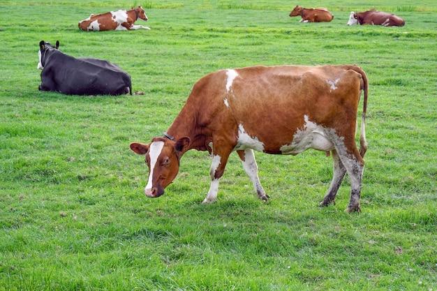 緑の農場の牛。