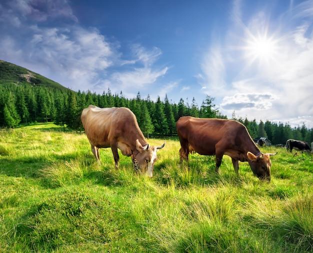 푸른 잔디에서 산악 목초지에서 소