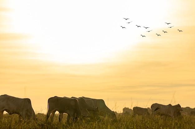 Коровы на пастбище на закате.