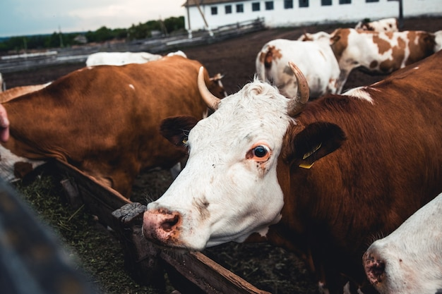 Коровы на форме. производство молока. домашние животные.
