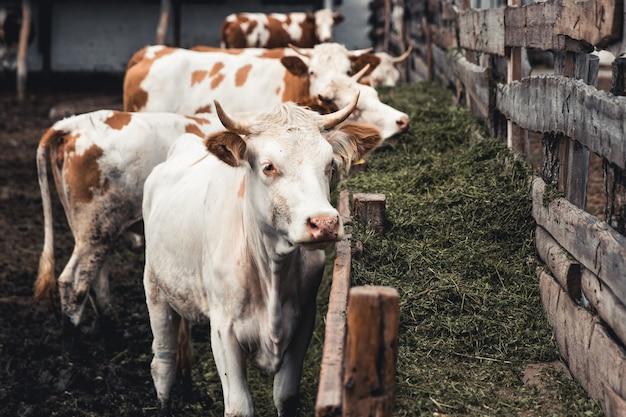 양식에 소. 우유 생산. 가정용 동물.