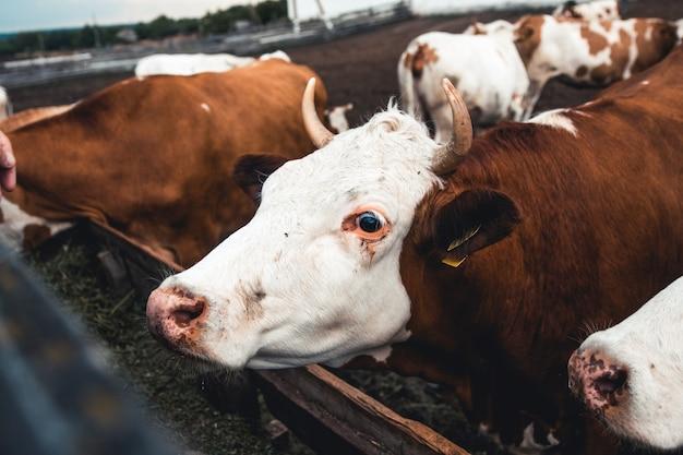 양식에 소입니다. 우유 생산. 가정용 동물.