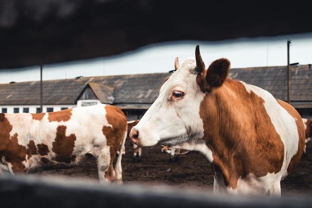 フォーム上の牛。牛乳生産。家畜。