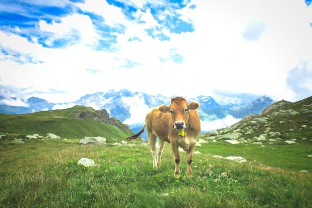 스위스 알프스의 목초지에 소