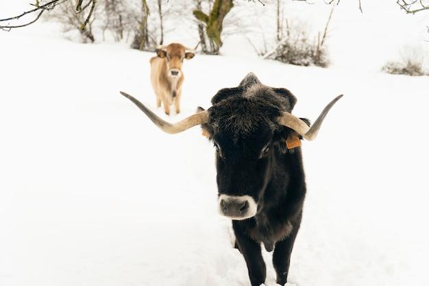 Коровы на снегу в горах на севере испании