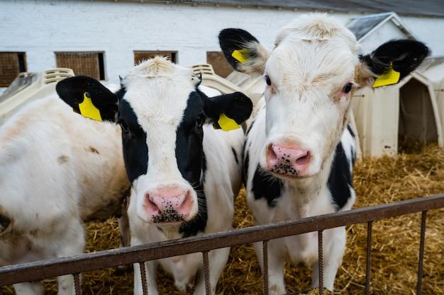 Коровы над кормушкой в здании фермы