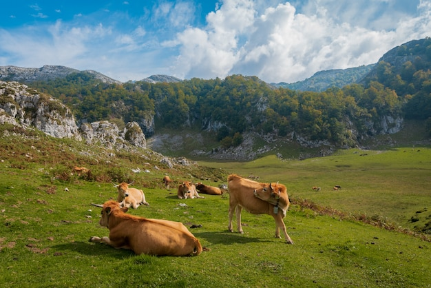 Cows on pasture meadow flowers landscape and mountains