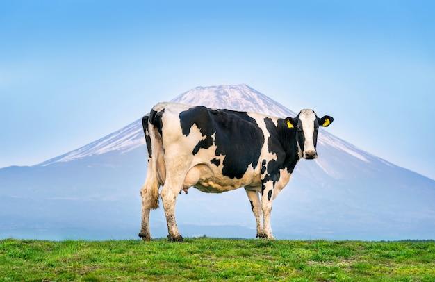 日本の富士山の前の緑の野原に立っている牛。