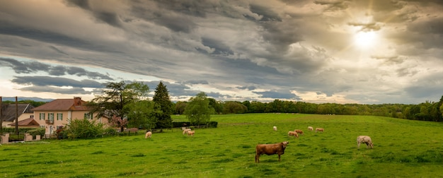 Cows and a threatening cloudy sky. menacing clouds above landscape