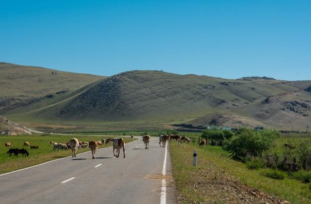 Коровы прогнали всю дорогу. корова идет по дороге