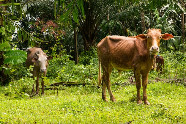 Cows in tropical forest in phuket