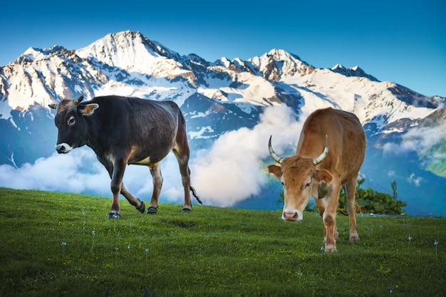 Cows walking on alpine meadow. summer landscape
