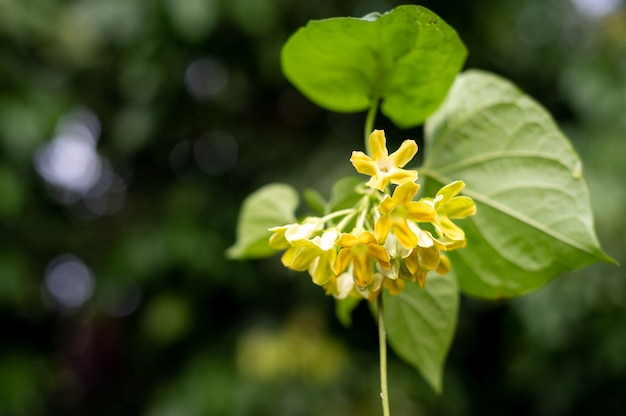 Cowslip creeper flowers with leaves on the tree