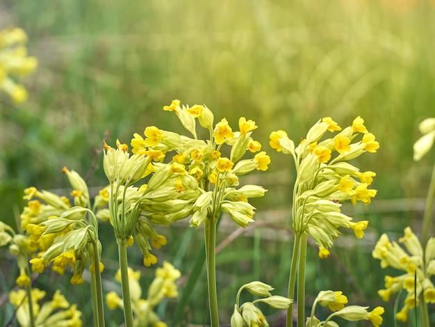 Цветки воловника в весеннем лесу.