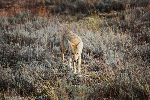 Coyote closeup in autumn meadow