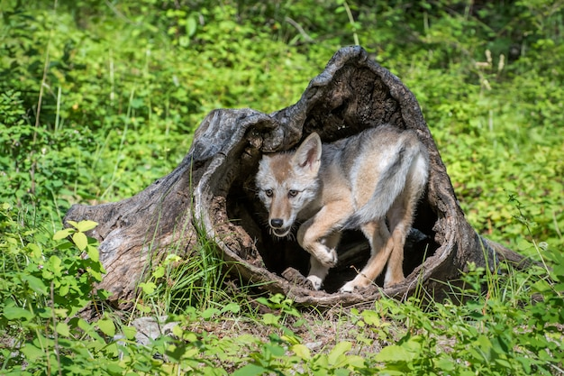 Койот щенок играет внутри полого бревна