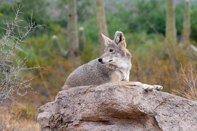 Coyote resting on a rock in the sonoran desert in southern arizona