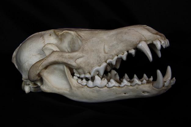 黒い壁に分離された開いた口の中に大きな牙を持つコヨーテの頭蓋骨