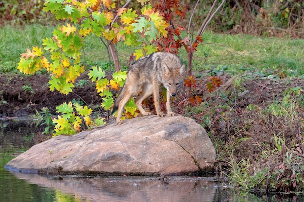 Coyote standing on a boulder near water in autumn
